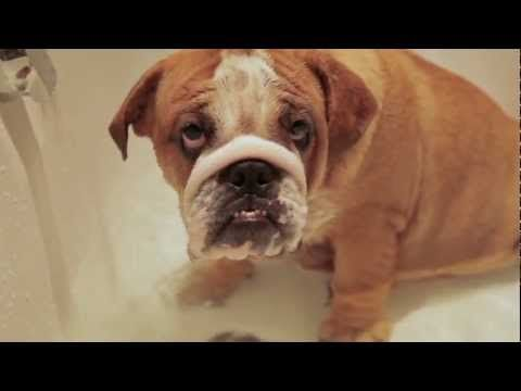 Adorable Bulldog Puppy In The Bath Bulldog Puppies Bulldog