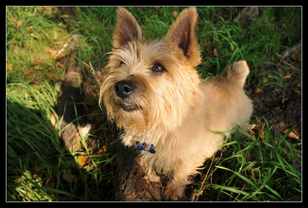 Holly the Norwich Terrier | Flickr - Photo Sharing!