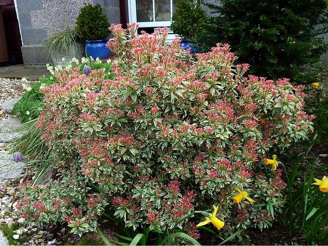 Pieris little heath 2 aberdeen gardening from bonnie for Garden trees scotland