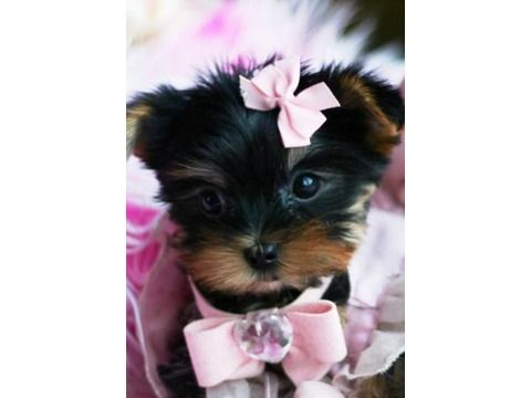 Teacup Yorkie Puppies Between 3 4 Pounds Full Grown This Is My
