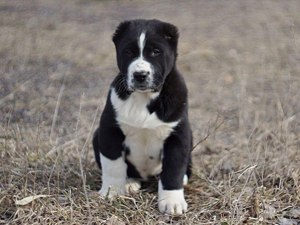Central Asian Ovtcharka Alabai Dog Puppies Mastiff Puppies