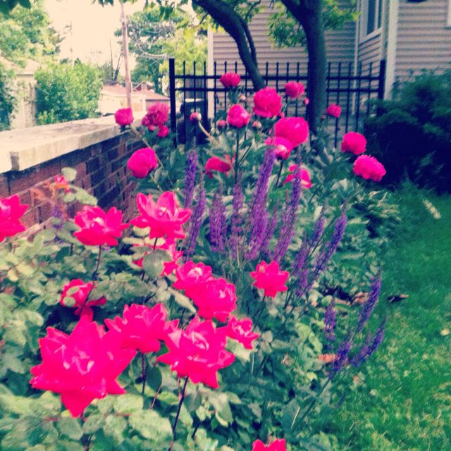 25 knockout roses landscaping lavender pictures and ideas on pro rh prolandscape info