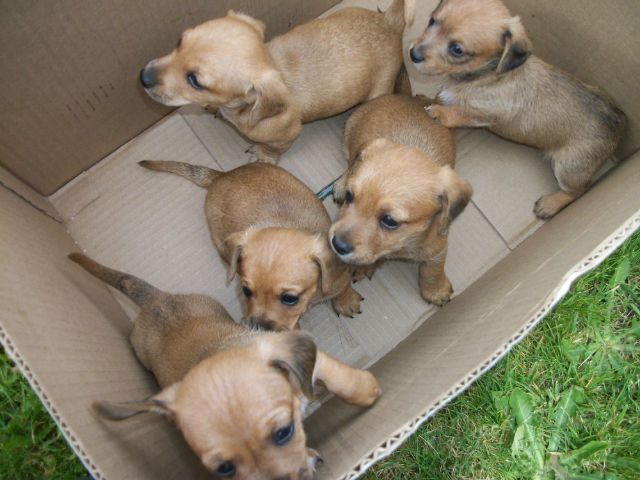 1 2 Miniature Dachshund 1 2 Chihuahua Puppies 3 Males 275 Each In