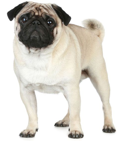 Featured Dog Breed Pug Dog Breeds Pugs Best Dog Breeds