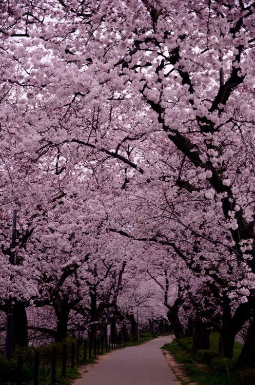 I Want To Go Here Beautiful Landscapes Cherry Blossom Japan Amazing Nature Photography