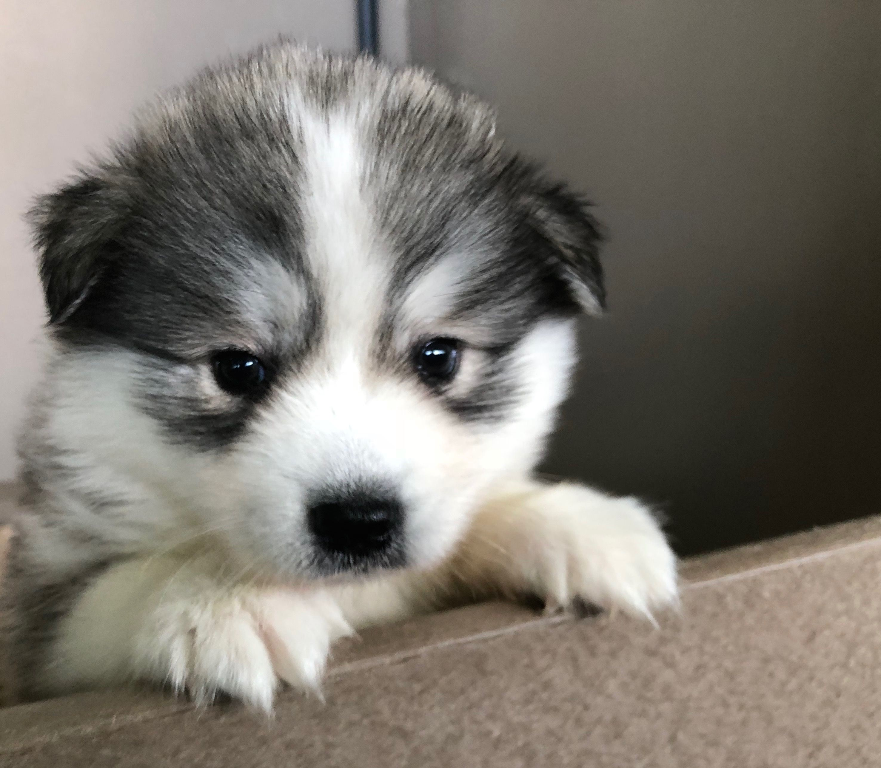 Dogs And Puppies For Sale Petland Novi Michigan Puppy Store Puppies For Sale Puppy Store Dogs