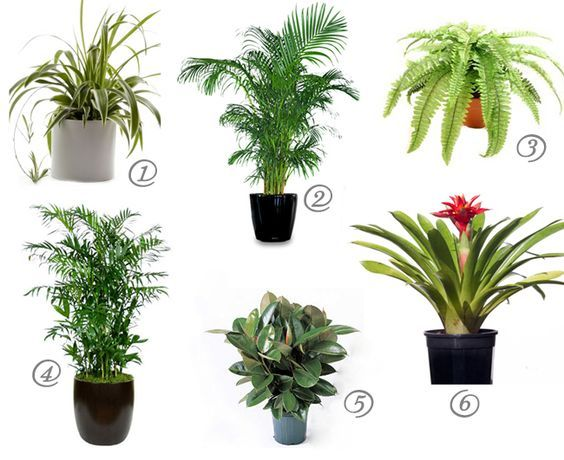 cat safe house plants for cleaner air rubber plant bamboo palm and boston ferns. Black Bedroom Furniture Sets. Home Design Ideas