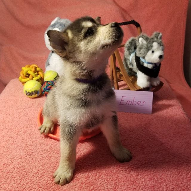 Breed Huskey Golden Retriever Chow Gender Female Registry Non Registrable Personality Cute Puppies Golden Retriever Puppies Golden Retriever Husky Mix