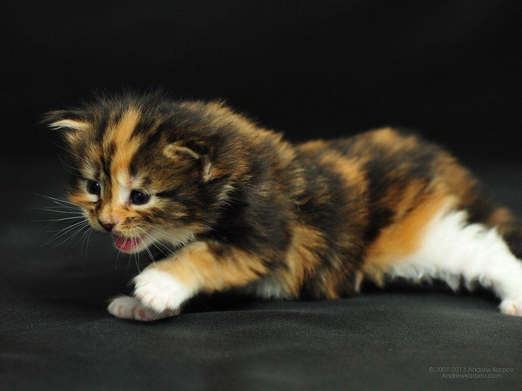 Persian Calico Kitten s adorable animals