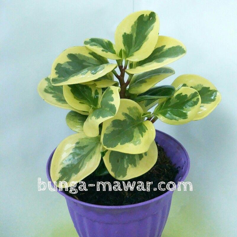 Variegata Leaves Tanaman Bunga Mawar