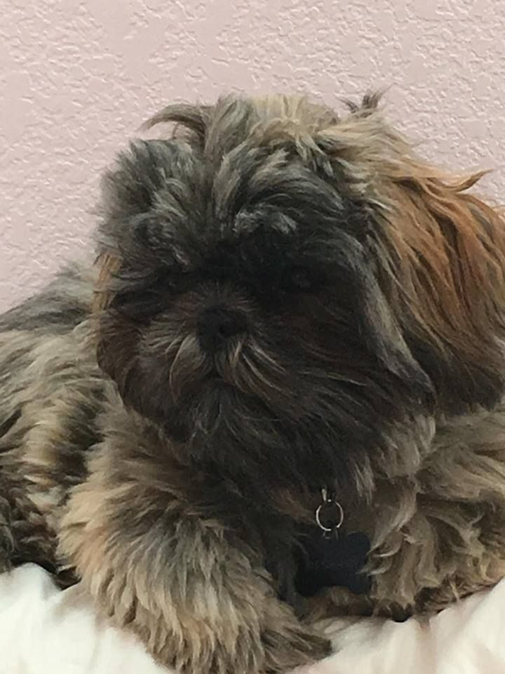 Silver Brindle Reece From Glory Ridge Shihtzu Cuteness For The
