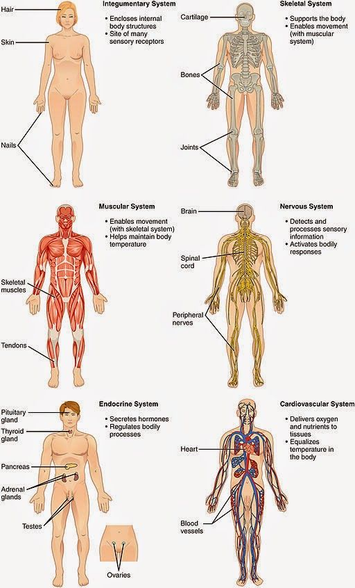 Sistemas del Cuerpo Humano | Humano, Aparatos y Cuerpo