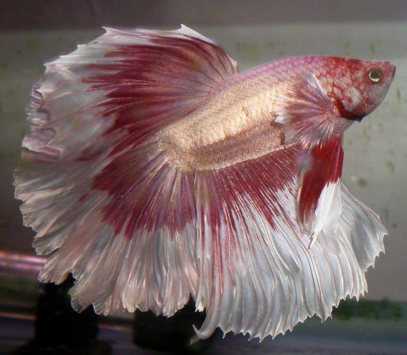 Roze Met Wit De Betta Splendens Is Er In Vele Kleuren Mooi Aquariumvissen Vis Tropische Vissen