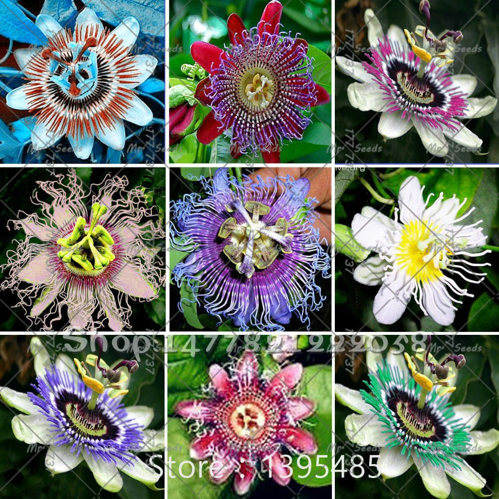 100 Seeds Bag Passion Flower Passiflora Incarnata Certified Pure Live Seed True Flower Seeds Passion Fruit Plant Flowers Perennials