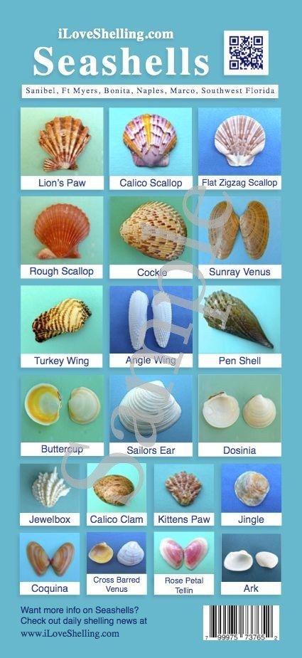 Seashell I D Guide To Southwest Florida Shells Sea Shells Shells Seashell Projects