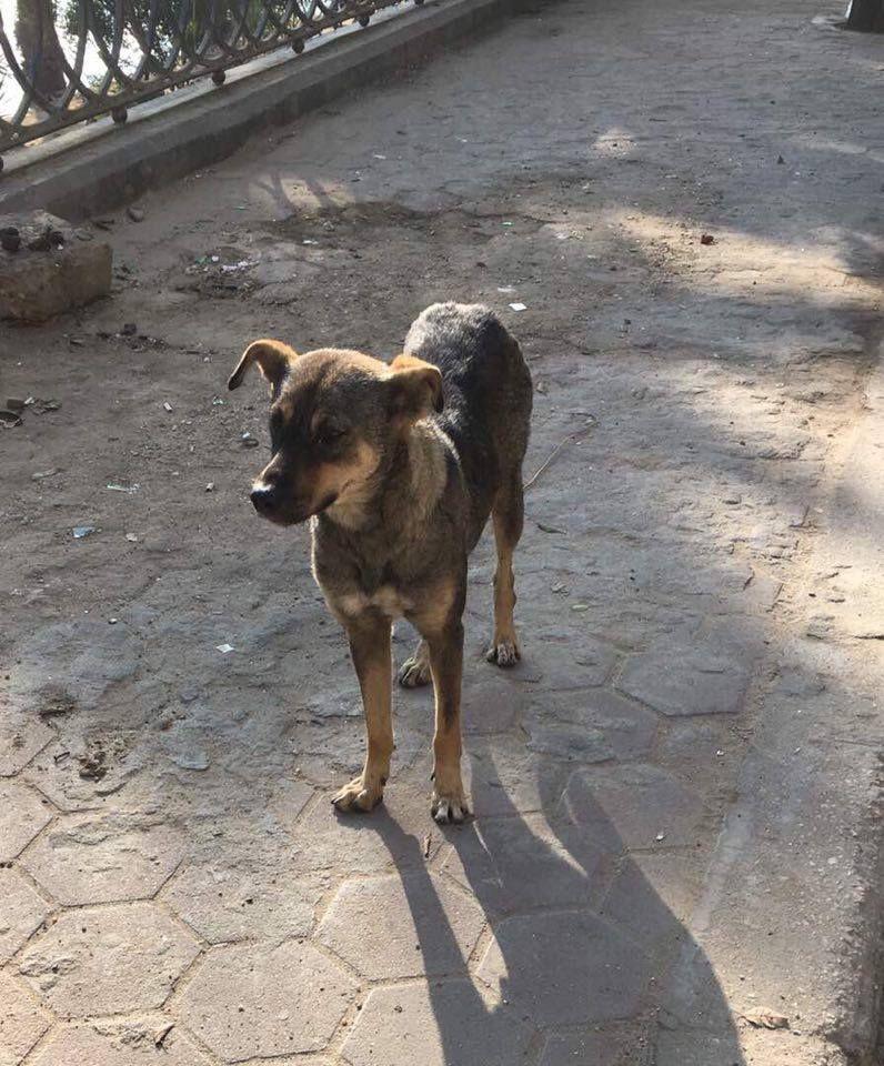 Pharaoh Hound dog for Adoption in NYC, NY. ADN-562528 on ...