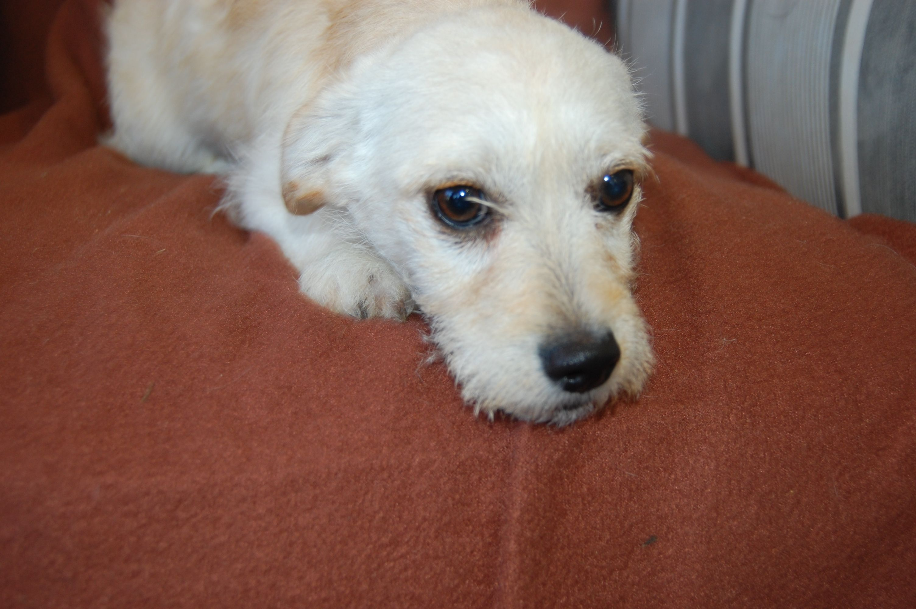 Valentine Terrier Mix 5 Months Old Dog Adoption Rescue Dogs Dog Love