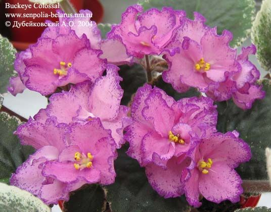 African violet Buckeye Colossal