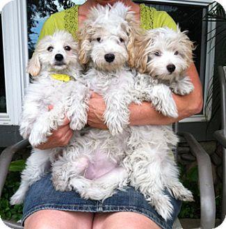 Cavapoos - Retrievers and Friends Dog Rescue   Cute animals