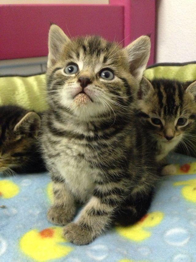 6 Weeks Old Brown Tabby Kitten Already Very Good At Taking Pictures Tabby Cat Tabby Cat Pictures Tabby Kitten