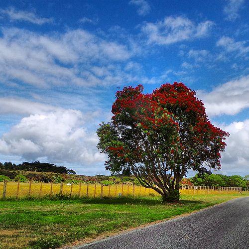 Puhutakawa Tree  Queen Elizabeth Park Kapiti Coast