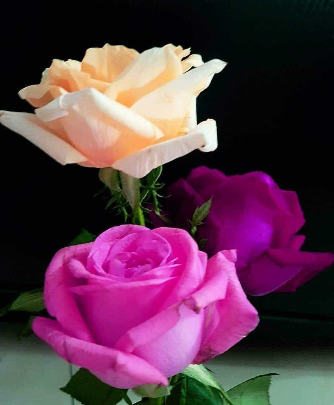 Pin By Nurcan Kara On Rose In 2020 Beautiful Roses Amazing Flowers Flowers Bouquet