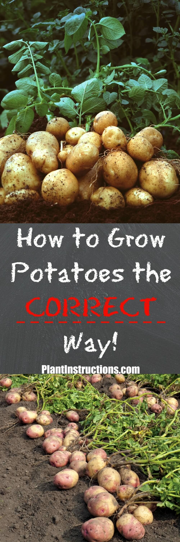 How to grow potatoes planting potatoes tomato garden
