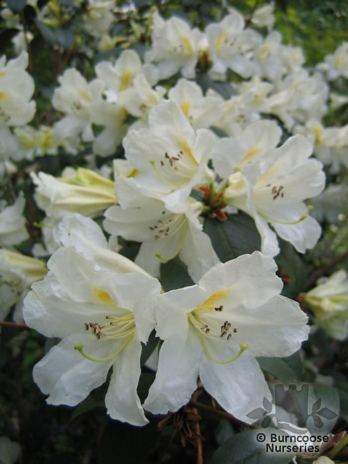 Rhododendron Johnstoneanum From Burncoose Nurseries Species
