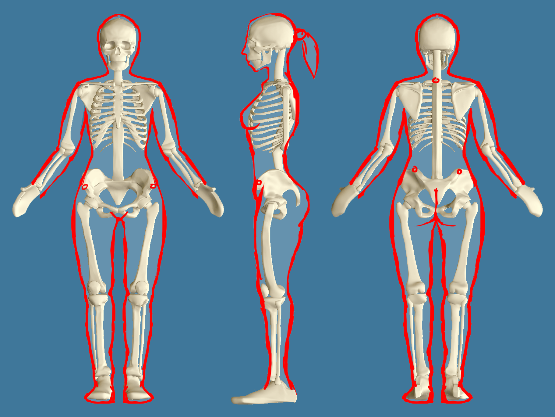 Image result for male and female skeleton proportions | Human Anatomy ...