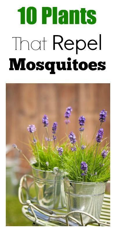 Plants That Repel Mosquitoes oh boy do we need this I want to use plants like this near out outdoor table Plants That Repel Mosquitoes oh boy do we need this I want to us...