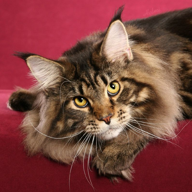 Michaelangelo, Brown Classic Tabby Maine Coon photo by