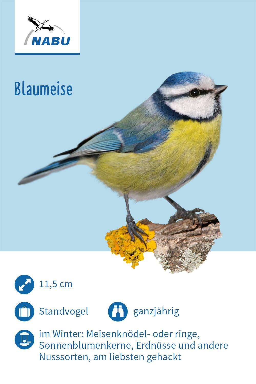 Die Blaumeise Blaumeise Meise Vogel Im Garten