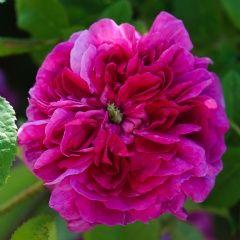 Sissinghurst Castle - David Austin Roses