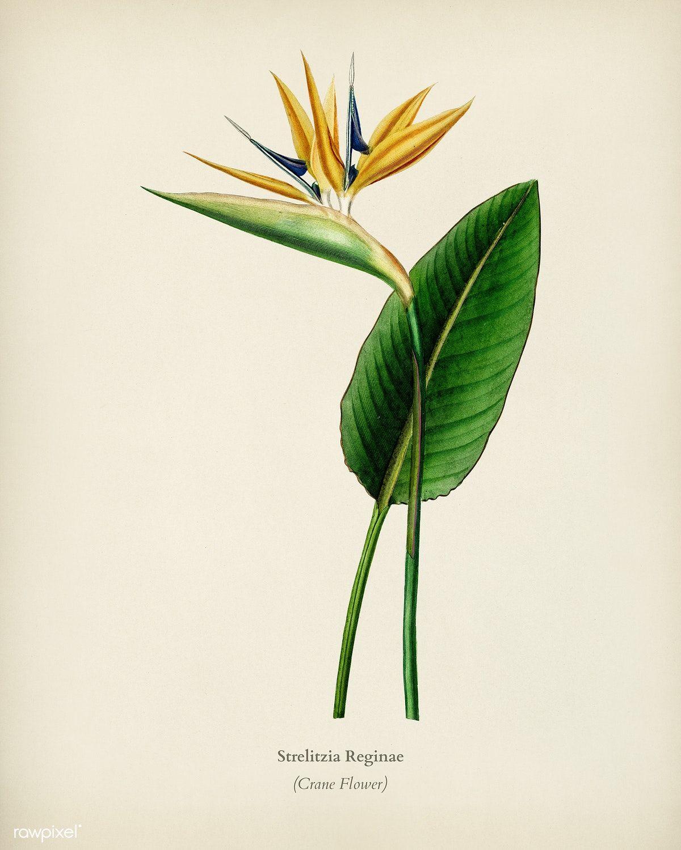 Download Premium Illustration Of Bird Of Paradise Strelitzia Reginae Bird Of Paradise Tattoo Birds Of Paradise Birds Of Paradise Flower