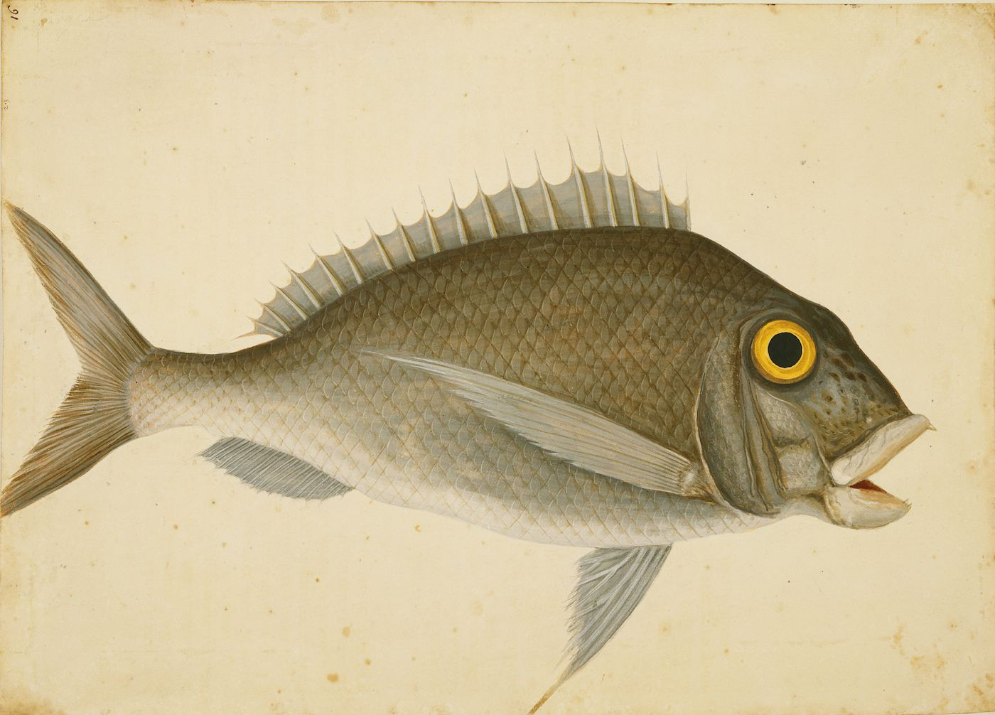 A Rare Loan from Windsor Castle Brings Mark Catesby's Watercolors to South Carolina