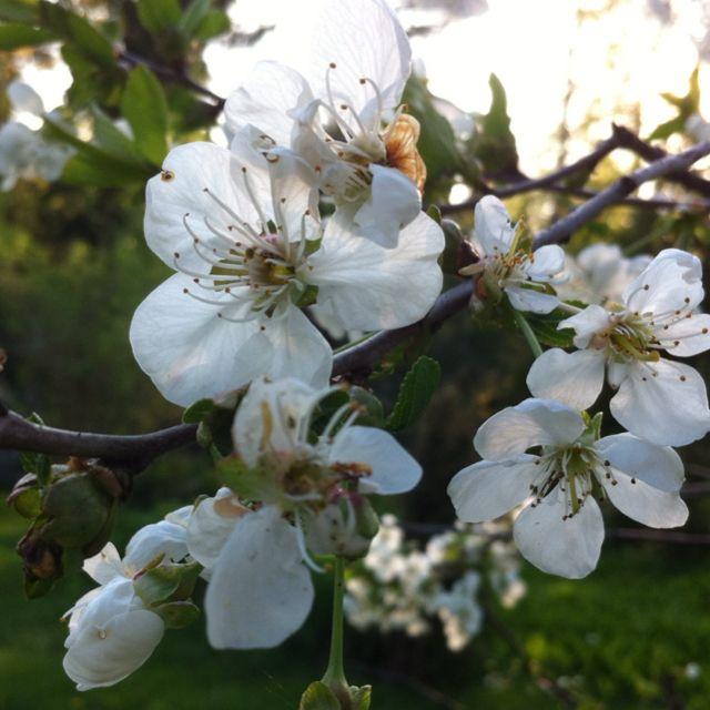 Kirsikkapuu Helsinki