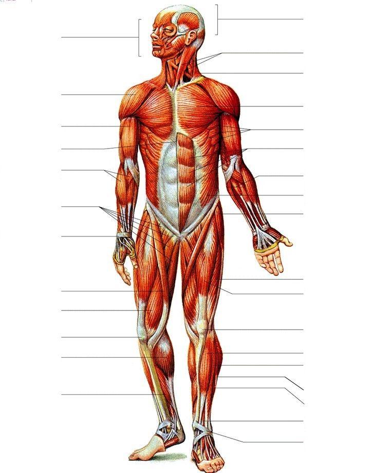 Resultado de imagen para musculos del cuerpo humano sin nombres con ...
