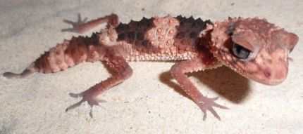 I have this spare Knob tailed gecko for sale or exchange