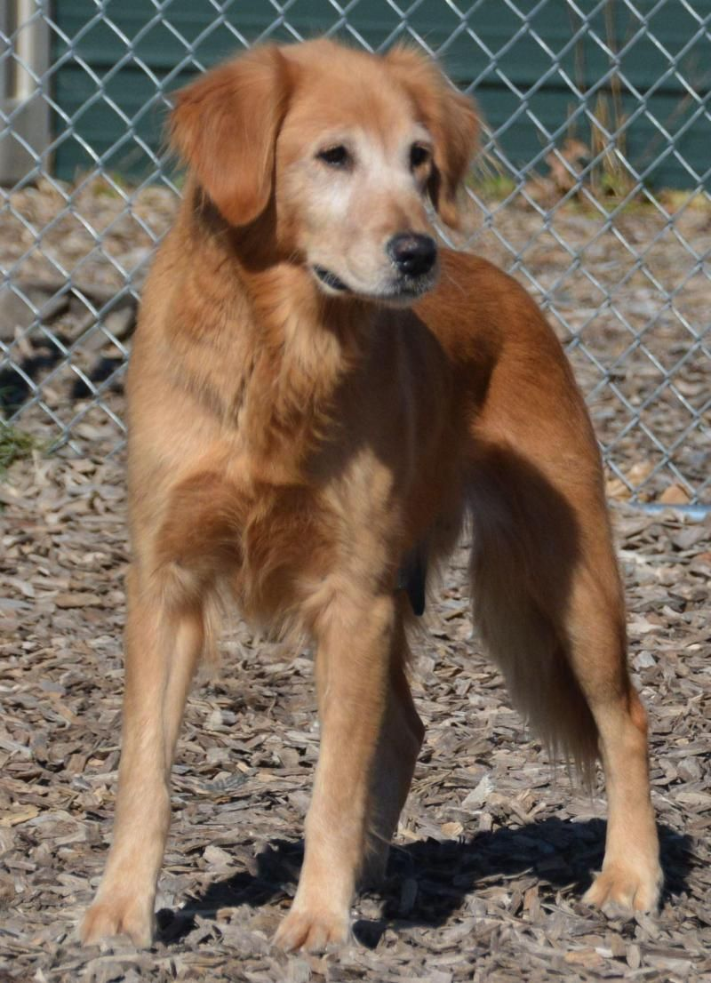 Adopt Violet on Dogs golden retriever, Pets, Pet adoption