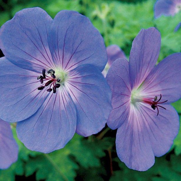 g ranium vivace rozanne geranium vivace fleurs bleues et g ranium