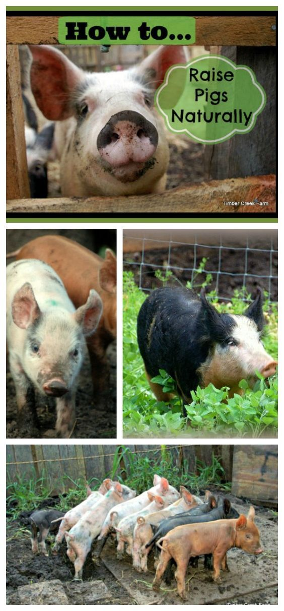 How To Raise Pigs Naturally On A Small Farm Raising Pigs Pig