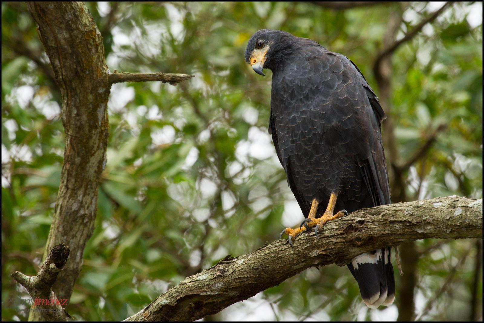 Common Black Hawk   by Chris Jimenez Nature Photo