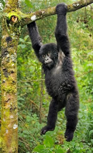 A young gorilla plays around