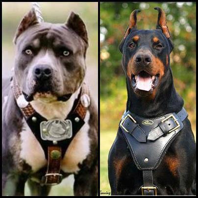 Que Perro Prefieres Rt Por El Doberman Fav Por El Rottweiler