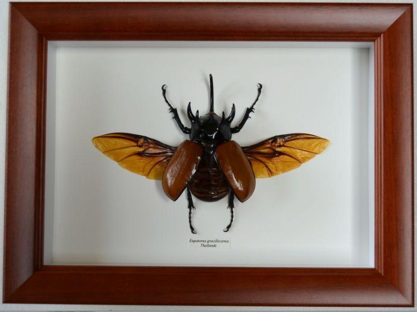 Insecte géant encadré