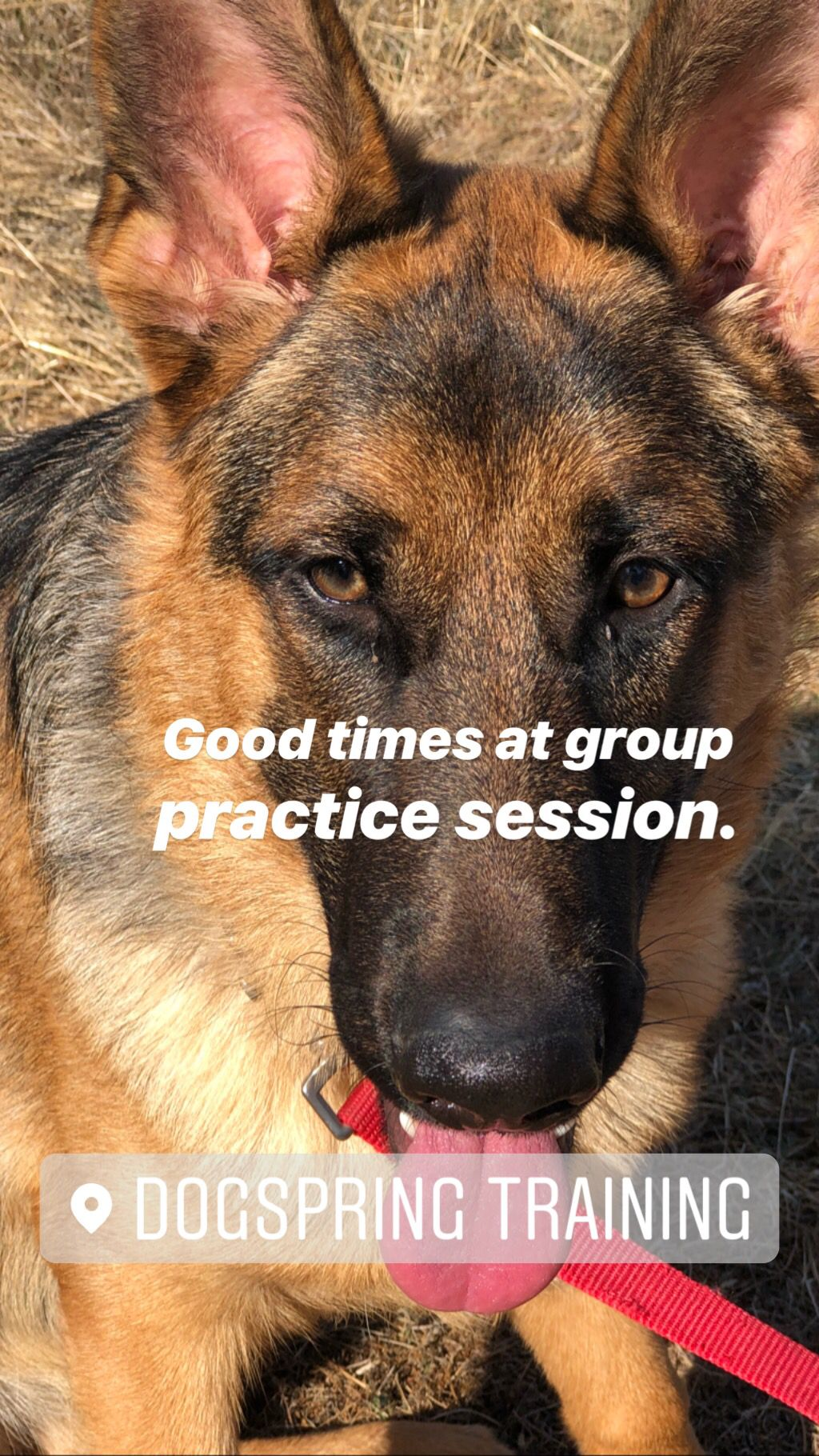 German Shepherd Practicing Down Stays Around Other Dogs At