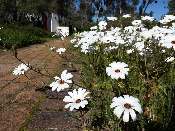White daisies in proliferation beside the path to the chapel at Camphill Village