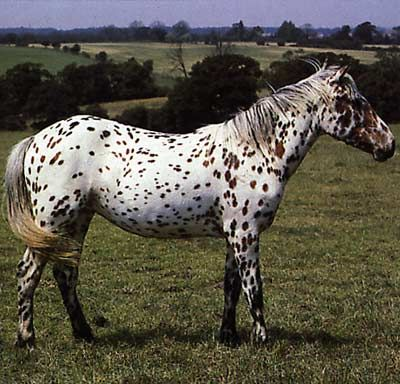 The appaloosa is the state mammal of Idaho. | horses | Pinterest ...