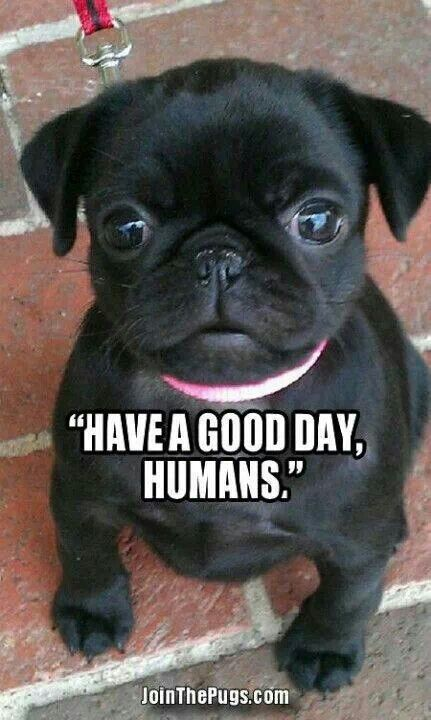 Have A Good Day Humans 3 Baby Pugs Cute Pugs Pug Puppies