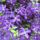 Tracy's Hackensack clematis is just outside Dillon's window